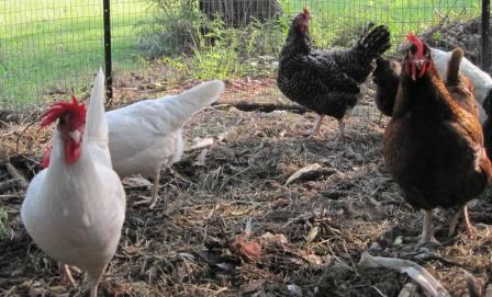 keeping backyard chickens is a good family project.